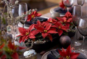 božićna zvijezda, božić, kako njegovati božićnu zvijezdu, božićne dekoracije